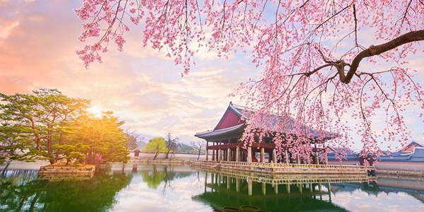 3N5D SPOTLIGHT KOREA MUSLIM CHERRY BLOSSOM